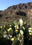 Prickly pear flowering and mountain