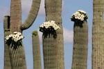 Saguaro flowering