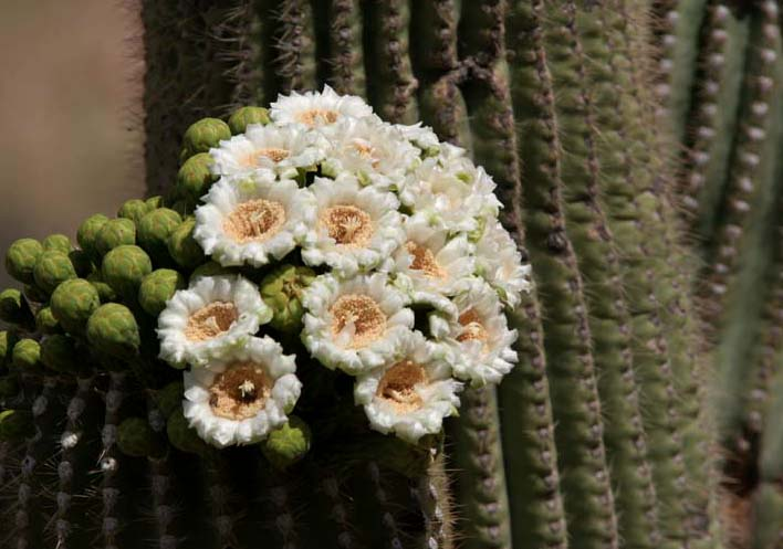 Saguaro flowers