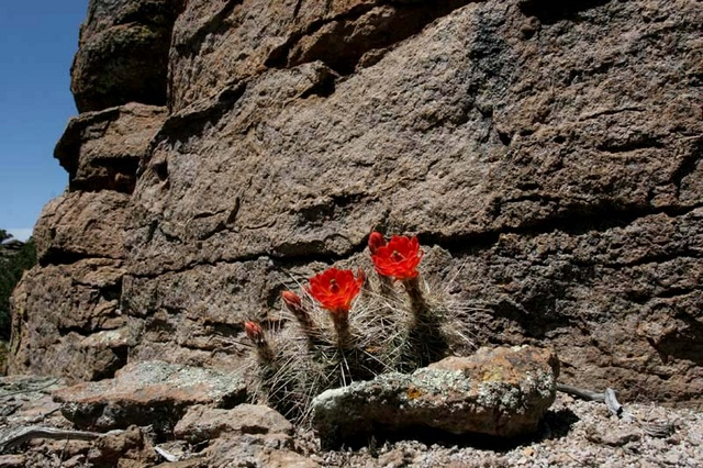 hedgehog cactus flower chiricahua rock formations