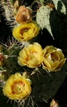 prickly pear flowering 2