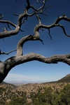 dead tree in chiricahua