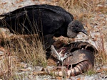 Black vulture and armadillo dinner