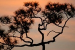 Long leaf pine tree at sunset