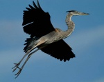 Young great blue heron testing wings