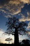 Baobob tree at sunset at Tarangire park in Tanaznia