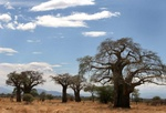 Baobab trees at Tarangire park in Tanaznia