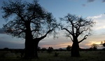 Baobab trees  sunset at Tarangire park in Tanaznia