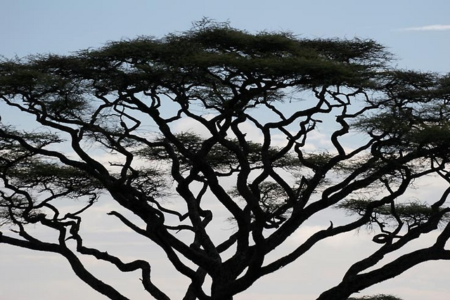 Acacia tree in the Serengeti, Tanzania