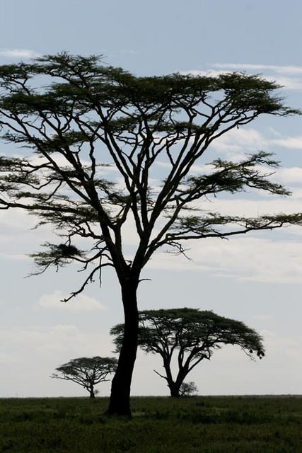 Acacia trees in the Serengeti, Tanzania
