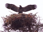 Bald eagle fledgling