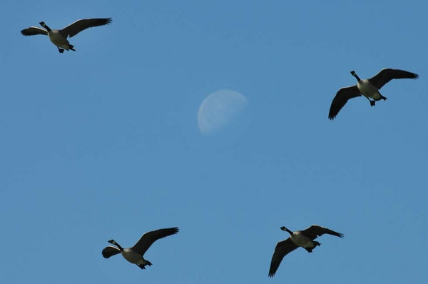 Canada geese and moon