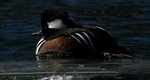 Hooded merganser male