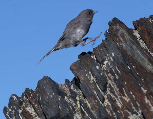 Jumping Junco