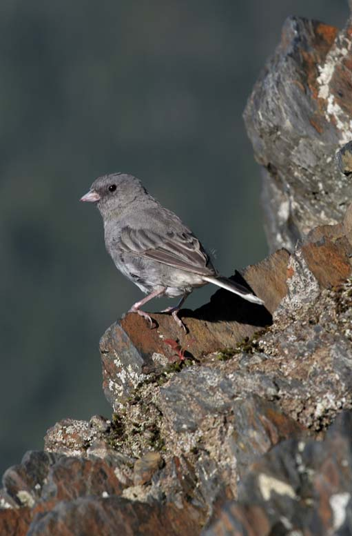 Junco on ledge, Smoky Mountains