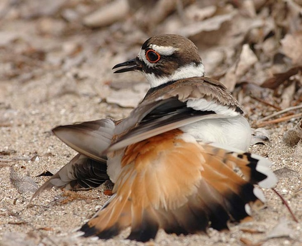 Killdeer broken wing act