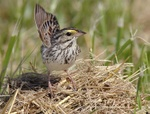 Savannah sparrow displaying