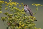 Savannah sparrow singing