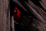 cardinal 1