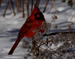 cardinal 2