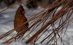 cardinal 3