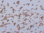 dunlins
