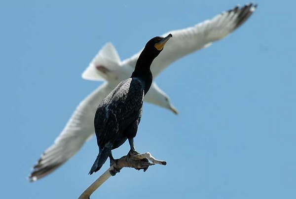 gull and cormorant
