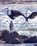 Black crowned night heron and Great blue herons