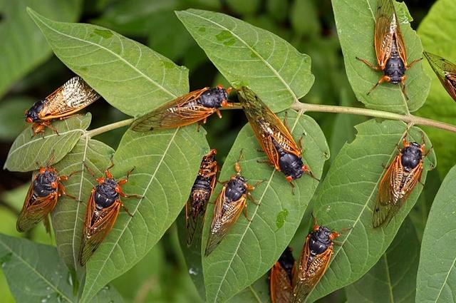 17 year cicada 2