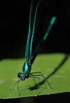 black winged damselfly