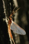 mayfly 1