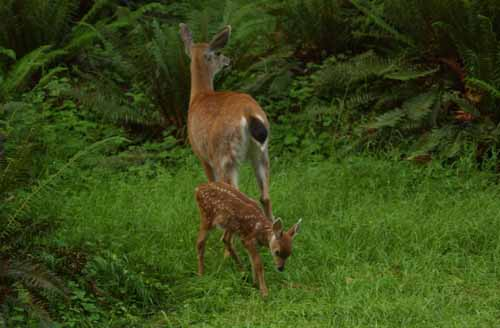 Baby deer