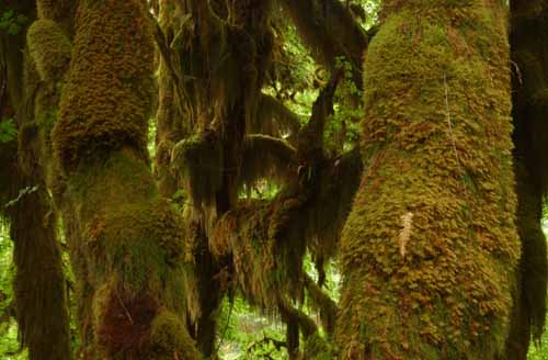 Hoe Rainforest moss