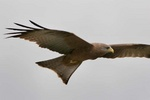 Black kite flying