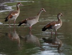 Egyptian geese in the Selous