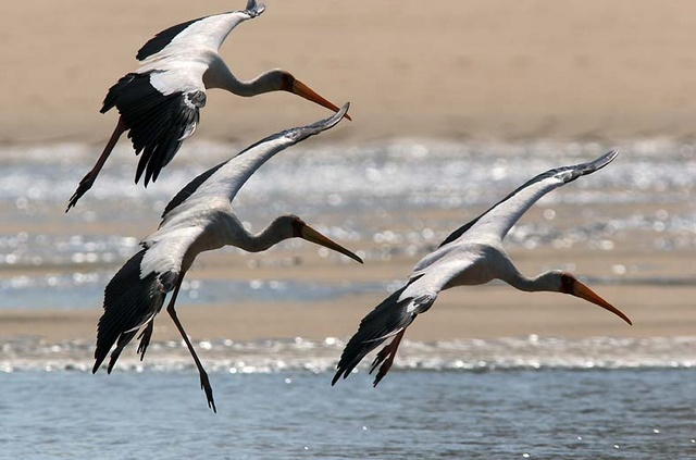Yellowed billed storks landing in Indian ocean