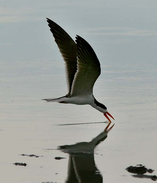 free downloading pics of african skimmer wiki