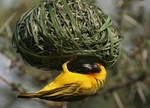 black faced weaver