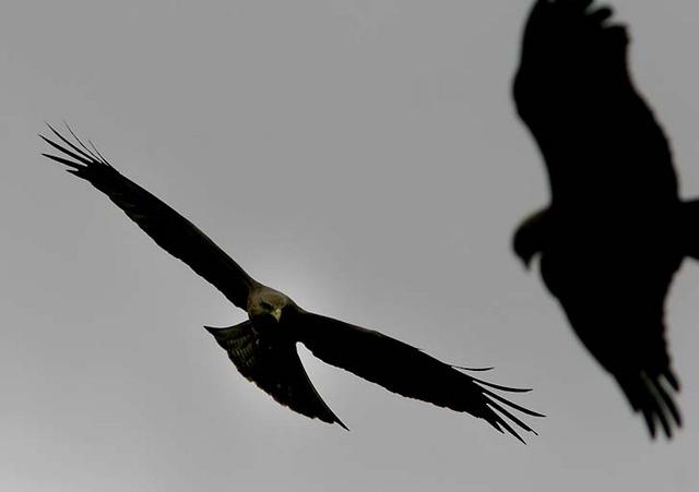 black kites at Ngorongoro Crater, Tanzania