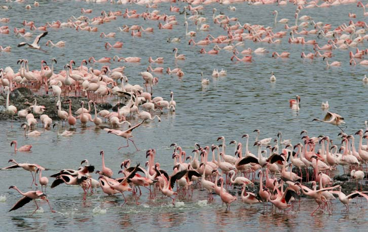 flamingos flying