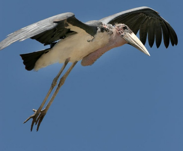 Marabou stork landing