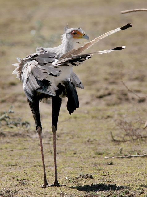 secretary bird preening  in Masai Mara, Kenya