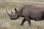 Black rhino at Ngorongoro Crater