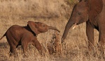 Baby elephants playing at Tarangire park in Tanzania