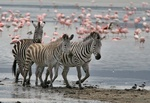 Zebras and Flamingos at Ngorongoro Crater