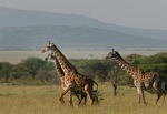giraffes in the Serengeti National Park, Tanzania