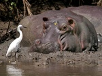 hippo looking at an egret in saadani National Park, tanzania
