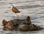 Africana jacana on hippo's head at Mukumi park