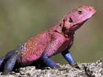 Agama lizard in the Serengeti National Park, Tanzania