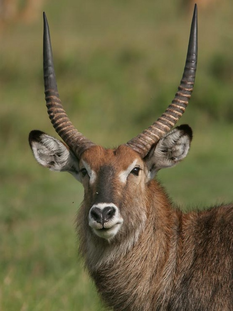 waterbuck in Maasai Mara, Kenya